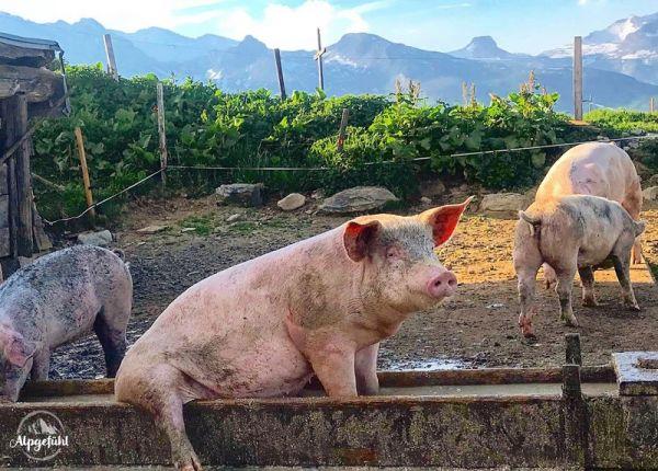 Karte Alpschwein genießt