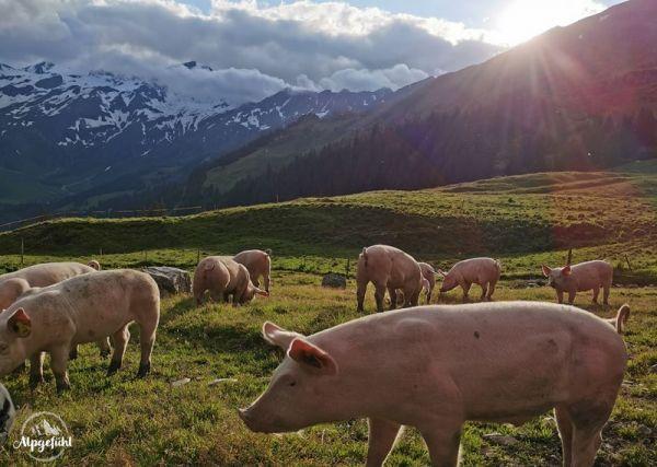 Karte Alpschweinherde